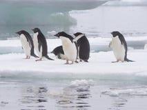 Пингвины Адели на антартическом полуострове Стоковое Изображение RF