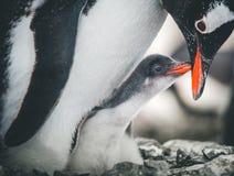 Пингвины взрослого и младенца конца-вверх антенны стоковые фотографии rf
