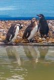 Пингвины в аквариуме Стоковое Изображение RF