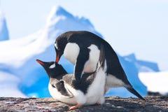 Пингвины в Антарктике Стоковые Фотографии RF