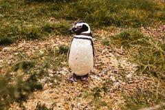 Пингвины в полуострове de valdes Аргентине Патагонии, пингвине Magellanic Стоковые Фотографии RF