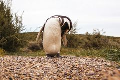 Пингвины в полуострове de valdes Аргентине Патагонии, пингвине Magellanic Стоковое Изображение