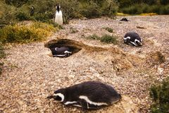 Пингвины в полуострове de valdes Аргентине Патагонии, пингвине Magellanic Стоковое фото RF