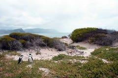 Пингвины в дюнах Стоковое Изображение RF