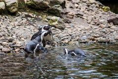 Пингвины Гумбольдта на утесах около воды Стоковые Фотографии RF
