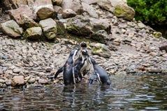 Пингвины Гумбольдта на утесах около воды Стоковое Фото
