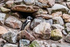 Пингвины Гумбольдта на утесах около воды Стоковые Изображения