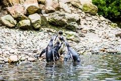 Пингвины Гумбольдта на утесах около воды Стоковая Фотография