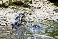 Пингвины Гумбольдта на утесах около воды Стоковое Изображение