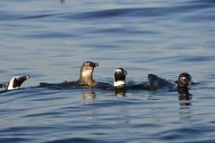 Пингвины заплывания Стоковая Фотография