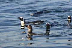 Пингвины заплывания Стоковое Изображение
