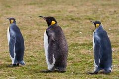2 пингвины и цыпленока короля Стоковая Фотография RF