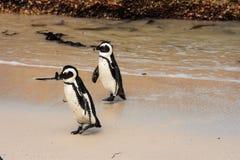 Пингвины идя в прибой Стоковое Фото