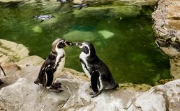 Пингвины лицом к лицу Стоковое Фото
