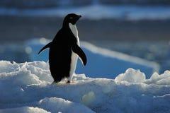 пингвины лож объявления Стоковая Фотография