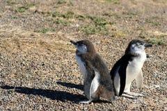 Пингвины младенца Стоковое Изображение RF