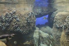 Пингвины на зоопарке Минесоты Стоковое фото RF