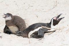 Пингвины на колонии в Южной Африке Стоковое Изображение RF