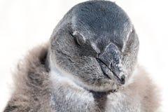 Пингвины на колонии в Южной Африке Стоковое фото RF