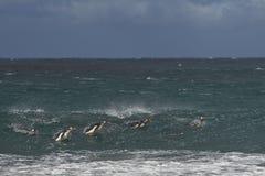 Пингвины на море - Фолклендские острова Gentoo Стоковое Изображение