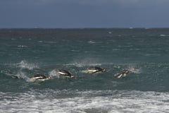Пингвины на море - Фолклендские острова Gentoo Стоковые Фото