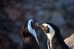 пингвины пар Стоковые Изображения