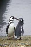 пингвины пар Стоковая Фотография RF
