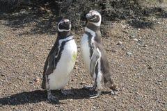 пингвины пар magellanic Стоковое Изображение RF