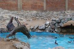 пингвины пеликана Стоковое фото RF