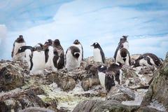 Пингвины пингвинов пингвинов Gentoo Стоковые Изображения RF
