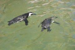 пингвины плавая стоковая фотография rf