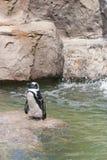 пингвины плавая стоковые изображения