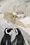 пингвины угрожаемые плащой-накидк Стоковое фото RF