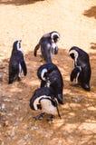 пингвины Стоковое Фото