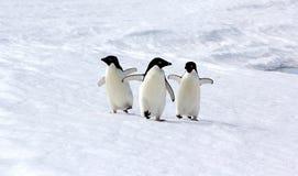 Пингвины Adeliе Стоковая Фотография