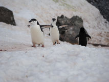 Пингвины Chinstrap на острове полумесяца в Антарктике Стоковые Фото
