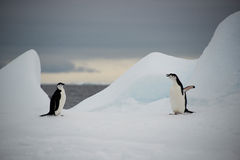 Пингвины Chinstrap на льде, Антарктике стоковые изображения