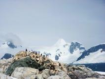 Пингвины Chinstrap острова полумесяца, Антарктика Стоковые Изображения RF