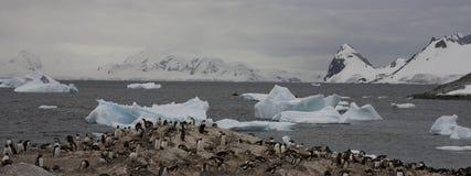 пингвины gentoo Антарктики Стоковые Изображения RF
