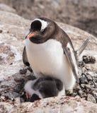 Пингвины Gentoo в Антарктике стоковые фотографии rf