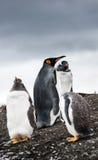 Пингвины Gentoo и король пингвин Стоковые Фото