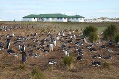 Пингвины Gentoo - Фолклендские острова Стоковое фото RF