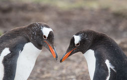 Пингвины Gentoo Стоковое Фото