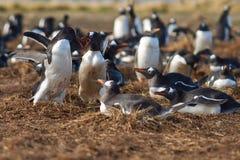 Пингвины Gentoo Squabbling - Фолклендские острова Стоковые Изображения RF