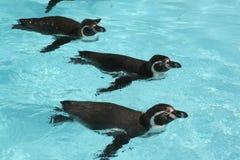 пингвины humboldt Стоковое фото RF