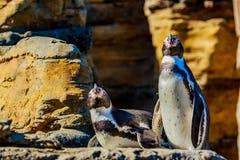 Пингвины Humboldt стоковое изображение