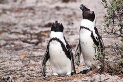 пингвины jackass Стоковое фото RF