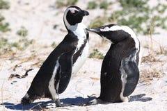 пингвины jackass Стоковые Изображения RF