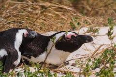 Пингвины Jackass (demersus spheniscus) на побережье городка Simon Стоковое Изображение