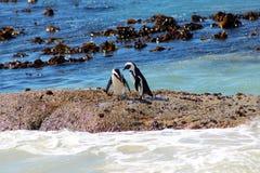 Пингвины Jackass m Стоковое Фото